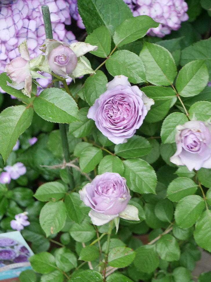 コフレ(Coffret)の花が咲いた。半ツルバラ。2021年-041.jpg
