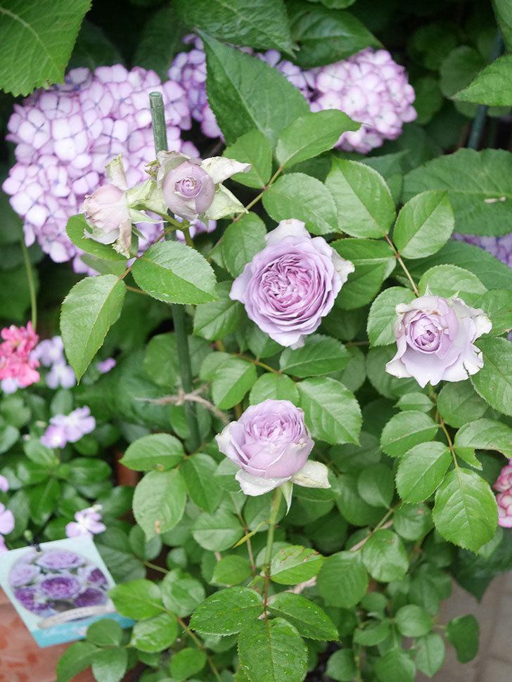 コフレ(Coffret)の花が咲いた。半ツルバラ。2021年-042.jpg