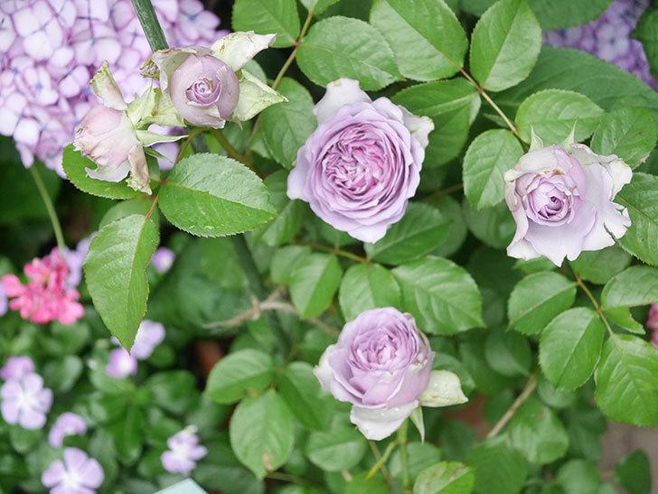 コフレ(Coffret)の花が咲いた。半ツルバラ。2021年-043.jpg