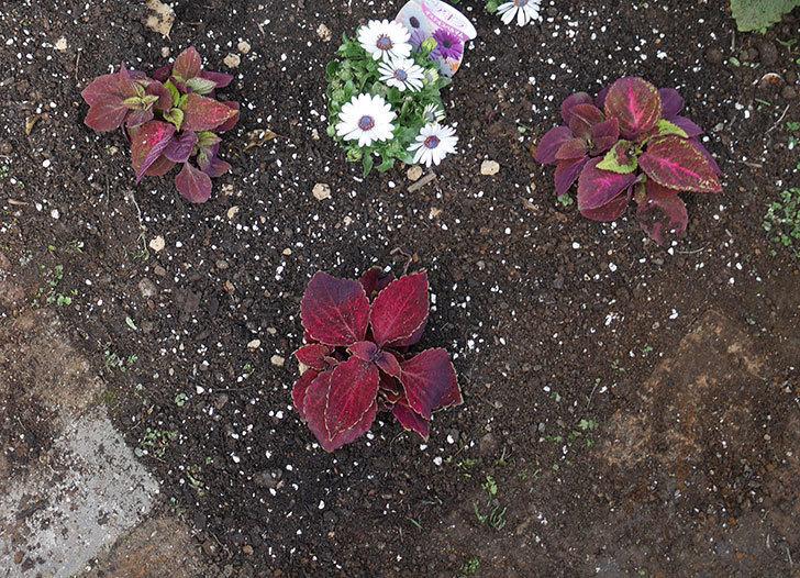 コリウス-ハイウェイの苗を地植えした。2019年-1.jpg