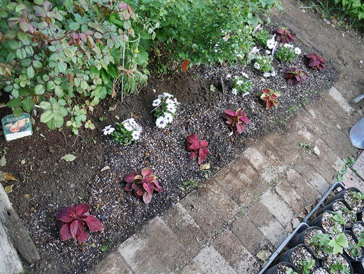 コリウス-ハイウェイの苗を地植えした。2019年-10.jpg