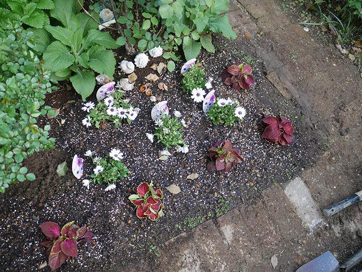 コリウス-ハイウェイの苗を地植えした。2019年-13.jpg