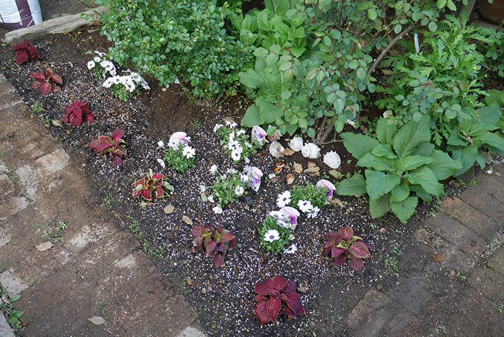 コリウス-ハイウェイの苗を地植えした。2019年-14.jpg