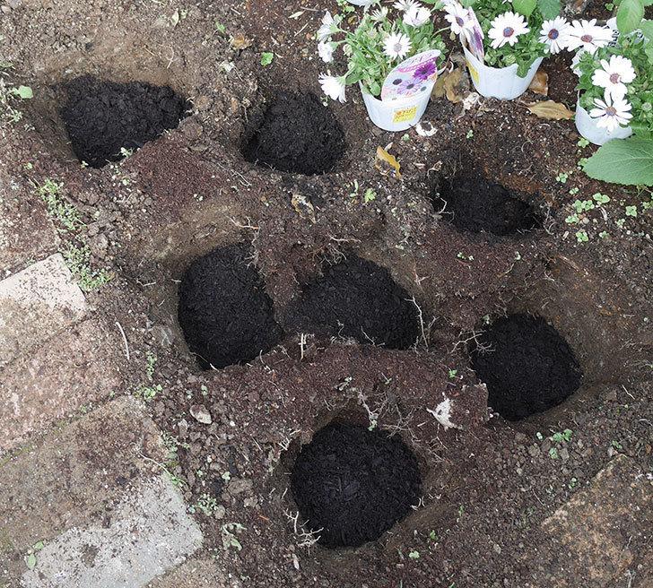 コリウス-ハイウェイの苗を地植えした。2019年-3.jpg