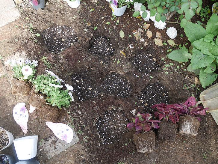 コリウス-ハイウェイの苗を地植えした。2019年-4.jpg
