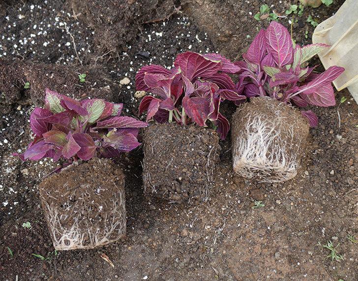 コリウス-ハイウェイの苗を地植えした。2019年-5.jpg
