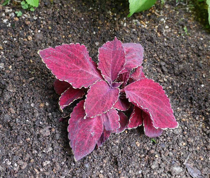 コリウス-ハイウェイの苗を地植えした。2020年-11.jpg