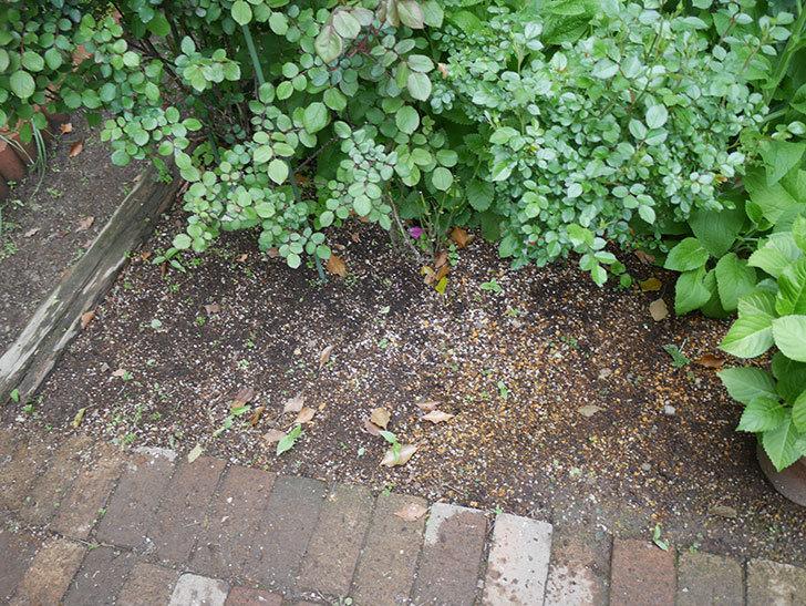 コリウス-ハイウェイの苗を地植えした。2020年-2.jpg