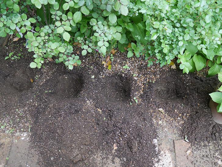 コリウス-ハイウェイの苗を地植えした。2020年-3.jpg