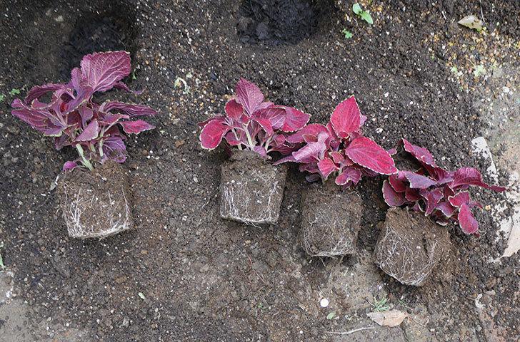 コリウス-ハイウェイの苗を地植えした。2020年-4.jpg
