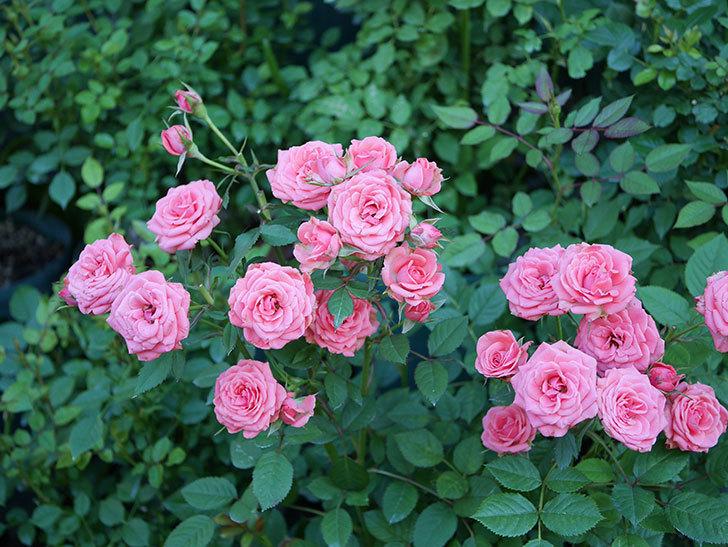 コリントス・フォーエバー(ミニバラ)の花がたくさん咲いた。2019年-1.jpg