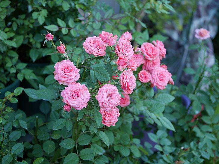 コリントス・フォーエバー(ミニバラ)の花がたくさん咲いた。2019年-4.jpg