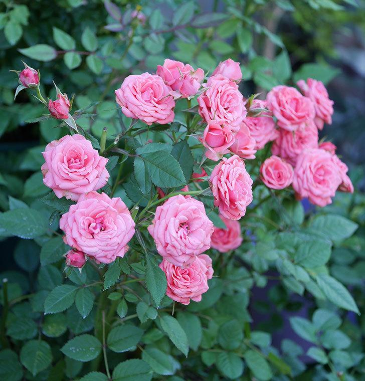 コリントス・フォーエバー(ミニバラ)の花がたくさん咲いた。2019年-5.jpg