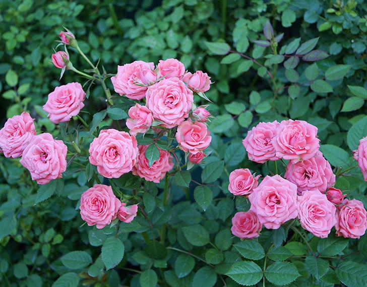 コリントス・フォーエバー(ミニバラ)の花がたくさん咲いた。2019年-6.jpg