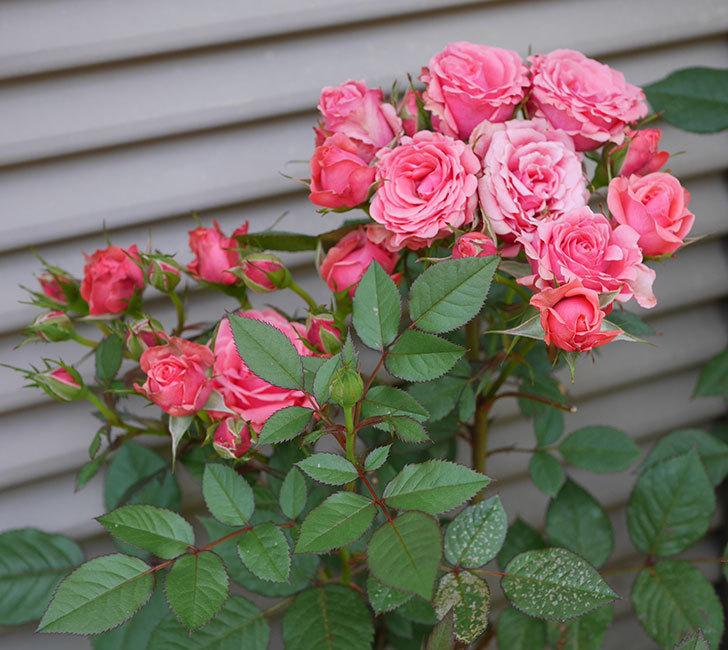 コリントス・フォーエバー(ミニバラ)の花が増えて来た。2019年-1.jpg