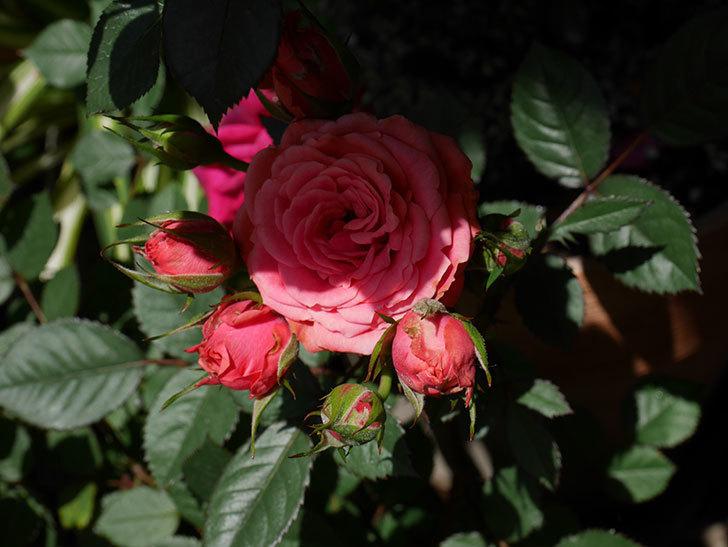 コリントス・フォーエバー(ミニバラ)の花が増えて来た。2019年-2.jpg
