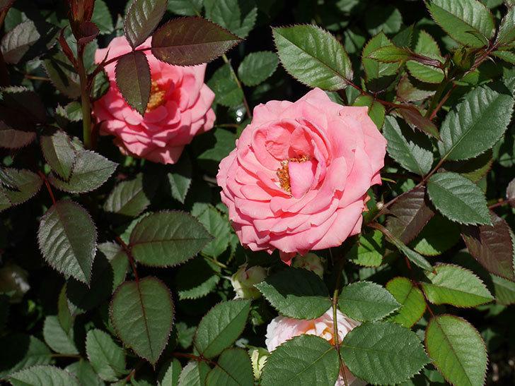 コリントス・フォーエバー(ミニバラ)の花が増えて来た。2019年-3.jpg