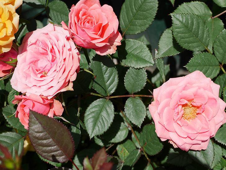 コリントス・フォーエバー(ミニバラ)の花が増えて来た。2019年-4.jpg