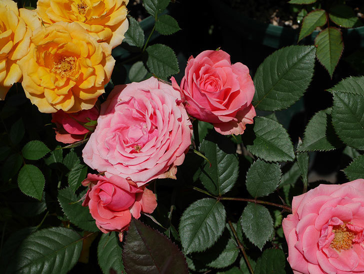 コリントス・フォーエバー(ミニバラ)の花が増えて来た。2019年-5.jpg
