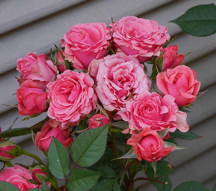 コリントス・フォーエバー(ミニバラ)の花が増えて来た。2019年-7.jpg