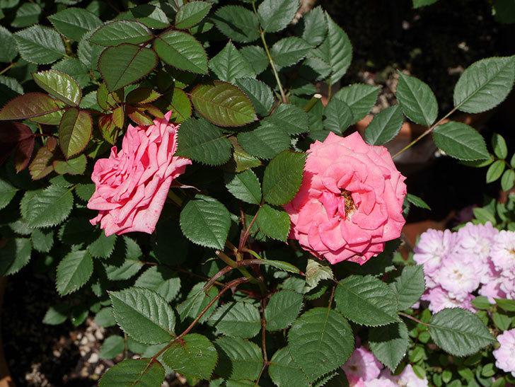 コリントス・フォーエバー(ミニバラ)の花が増えて来た。2019年-8.jpg