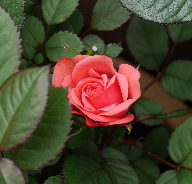 コリントス・フォーエバー(ミニバラ)の花が少し咲いた。2020年-1.jpg