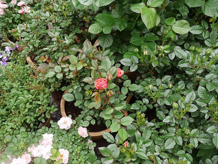 コリントス・フォーエバー(ミニバラ)の花が少し咲いた。2020年-6.jpg