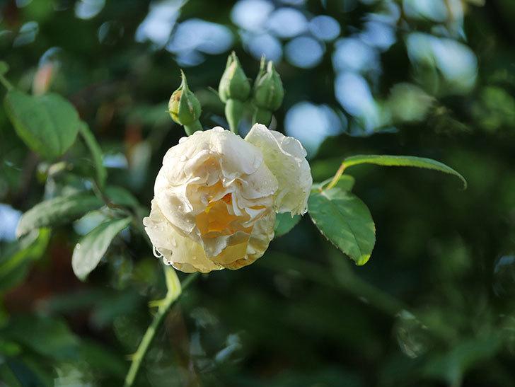 コントゥ・ドゥ・シャンパーニュ(Comtes de Champagne)の2番花が咲いた。2020年-006.jpg