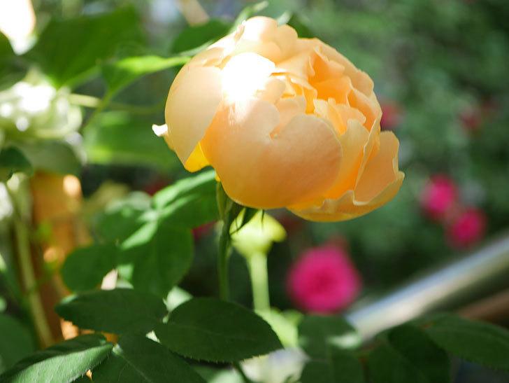 コントゥ・ドゥ・シャンパーニュ(Comtes de Champagne)の花が咲いた。半ツルバラ。2021年-001.jpg