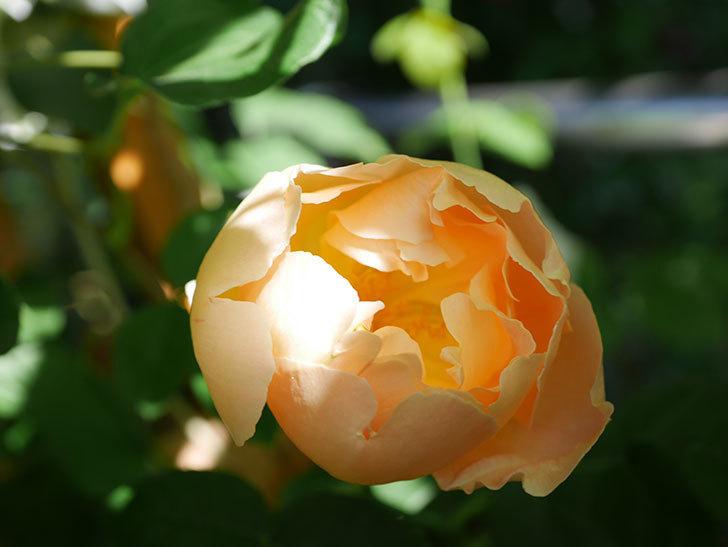 コントゥ・ドゥ・シャンパーニュ(Comtes de Champagne)の花が咲いた。半ツルバラ。2021年-002.jpg