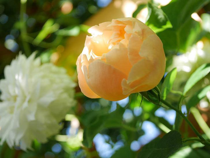 コントゥ・ドゥ・シャンパーニュ(Comtes de Champagne)の花が咲いた。半ツルバラ。2021年-003.jpg