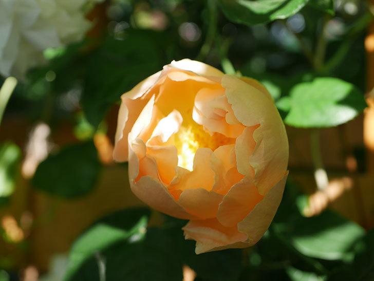 コントゥ・ドゥ・シャンパーニュ(Comtes de Champagne)の花が咲いた。半ツルバラ。2021年-005.jpg