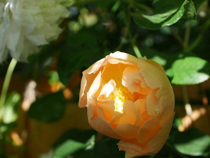 コントゥ・ドゥ・シャンパーニュ(Comtes de Champagne)の花が咲いた。半ツルバラ。2021年-006.jpg