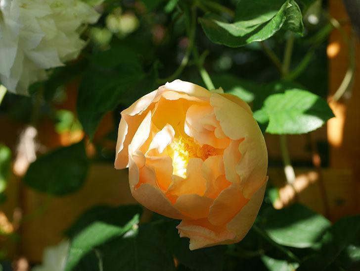 コントゥ・ドゥ・シャンパーニュ(Comtes de Champagne)の花が咲いた。半ツルバラ。2021年-008.jpg