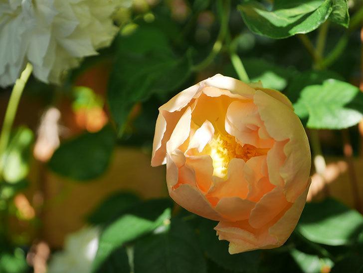 コントゥ・ドゥ・シャンパーニュ(Comtes de Champagne)の花が咲いた。半ツルバラ。2021年-009.jpg