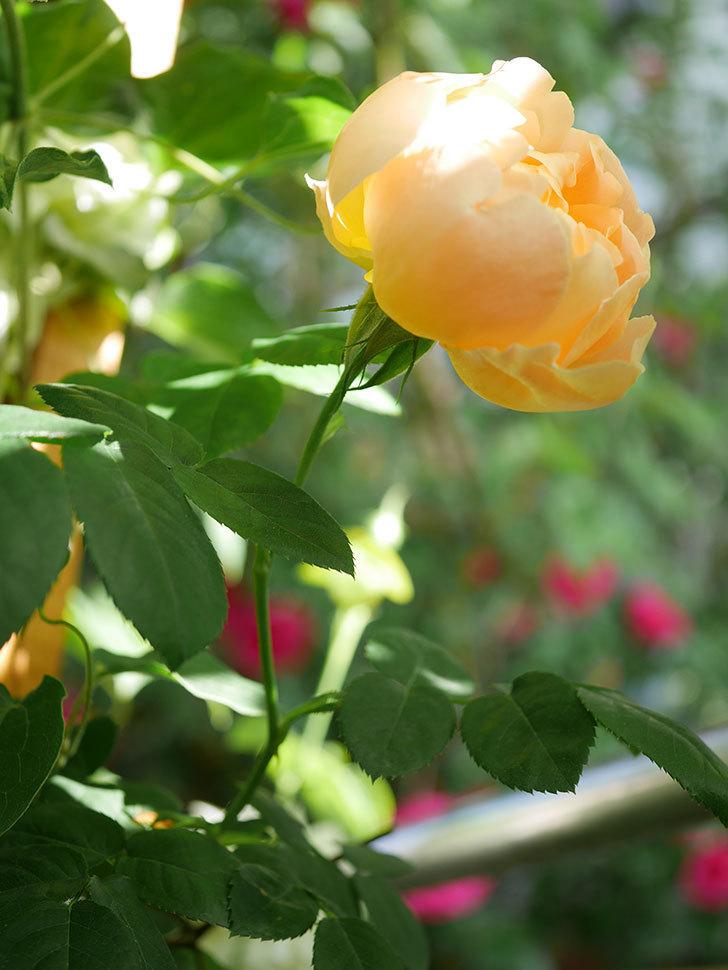 コントゥ・ドゥ・シャンパーニュ(Comtes de Champagne)の花が咲いた。半ツルバラ。2021年-011.jpg