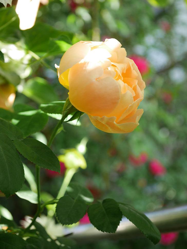 コントゥ・ドゥ・シャンパーニュ(Comtes de Champagne)の花が咲いた。半ツルバラ。2021年-012.jpg