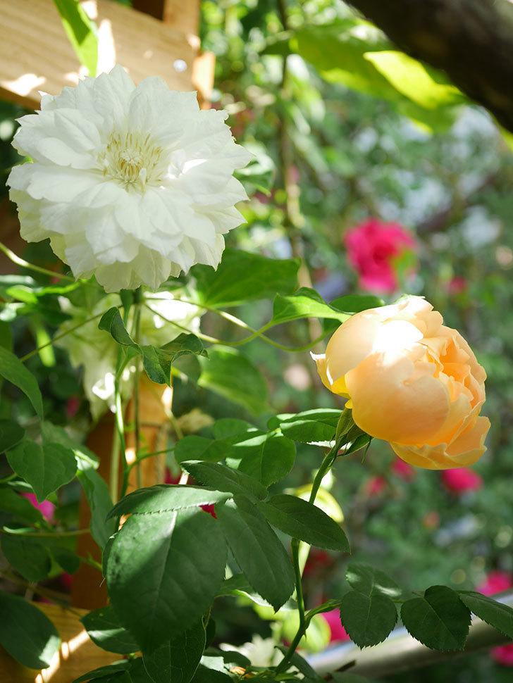 コントゥ・ドゥ・シャンパーニュ(Comtes de Champagne)の花が咲いた。半ツルバラ。2021年-013.jpg