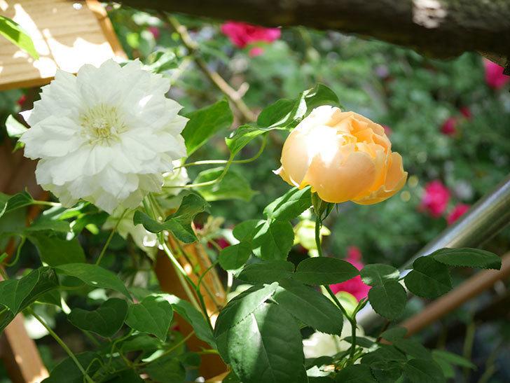 コントゥ・ドゥ・シャンパーニュ(Comtes de Champagne)の花が咲いた。半ツルバラ。2021年-015.jpg