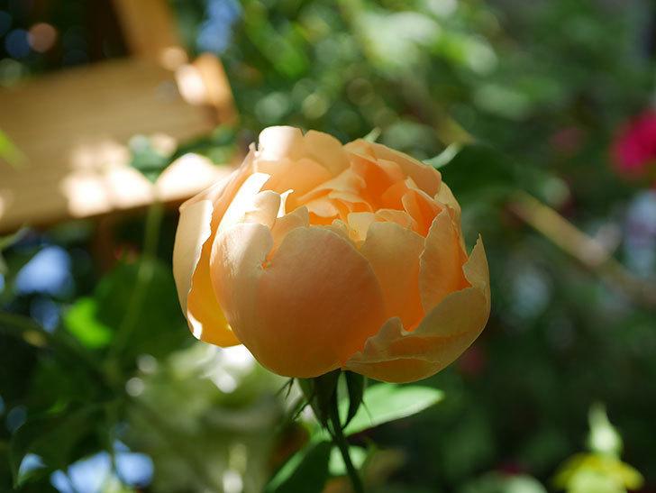 コントゥ・ドゥ・シャンパーニュ(Comtes de Champagne)の花が咲いた。半ツルバラ。2021年-017.jpg