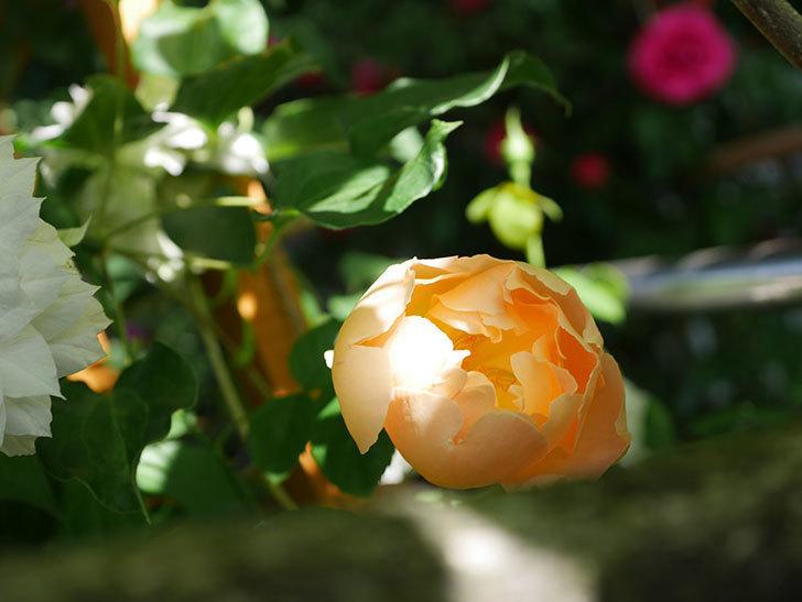 コントゥ・ドゥ・シャンパーニュ(Comtes de Champagne)の花が咲いた。半ツルバラ。2021年-018.jpg