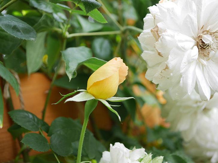 コントゥ・ドゥ・シャンパーニュ(Comtes de Champagne)の花が増えてきた。半ツルバラ。2021年-001.jpg