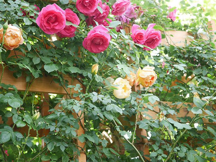 コントゥ・ドゥ・シャンパーニュ(Comtes de Champagne)の花が増えてきた。半ツルバラ。2021年-002.jpg