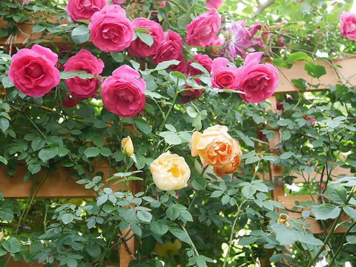コントゥ・ドゥ・シャンパーニュ(Comtes de Champagne)の花が増えてきた。半ツルバラ。2021年-003.jpg
