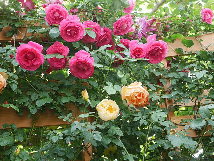 コントゥ・ドゥ・シャンパーニュ(Comtes de Champagne)の花が増えてきた。半ツルバラ。2021年-005.jpg