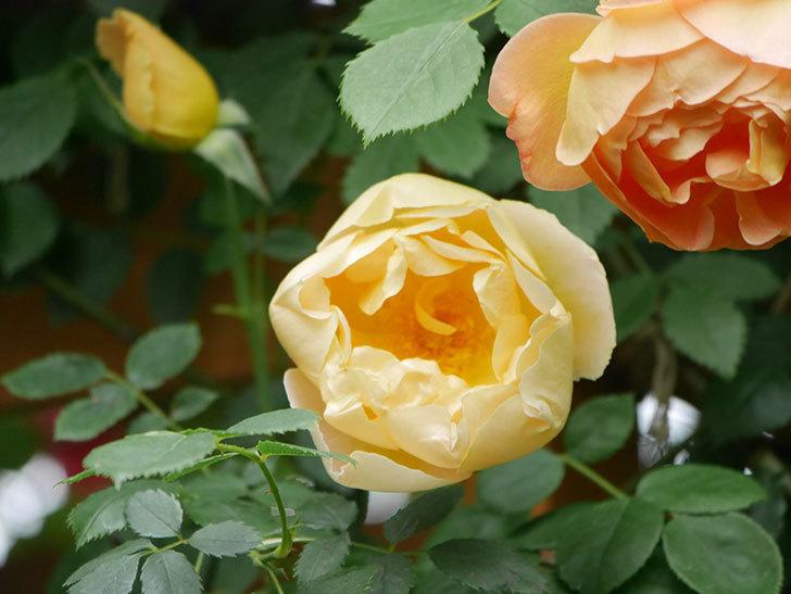 コントゥ・ドゥ・シャンパーニュ(Comtes de Champagne)の花が増えてきた。半ツルバラ。2021年-006.jpg