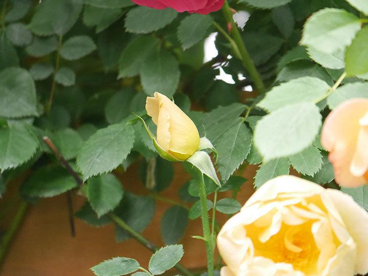 コントゥ・ドゥ・シャンパーニュ(Comtes de Champagne)の花が増えてきた。半ツルバラ。2021年-008.jpg