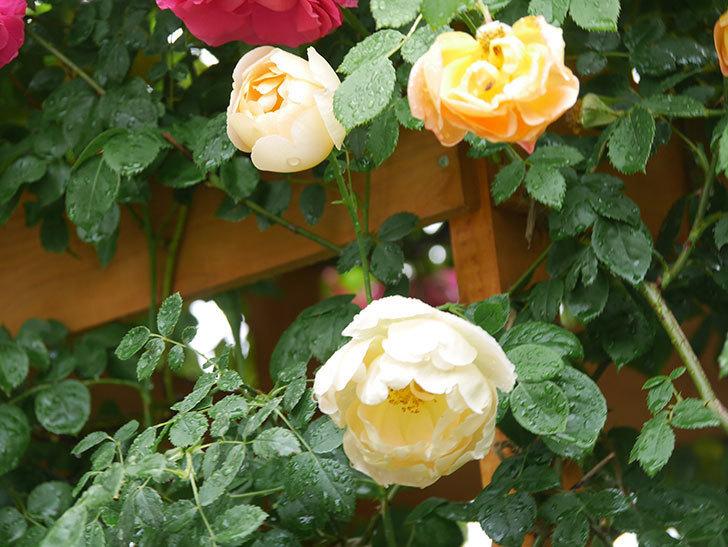 コントゥ・ドゥ・シャンパーニュ(Comtes de Champagne)の花が増えてきた。半ツルバラ。2021年-014.jpg