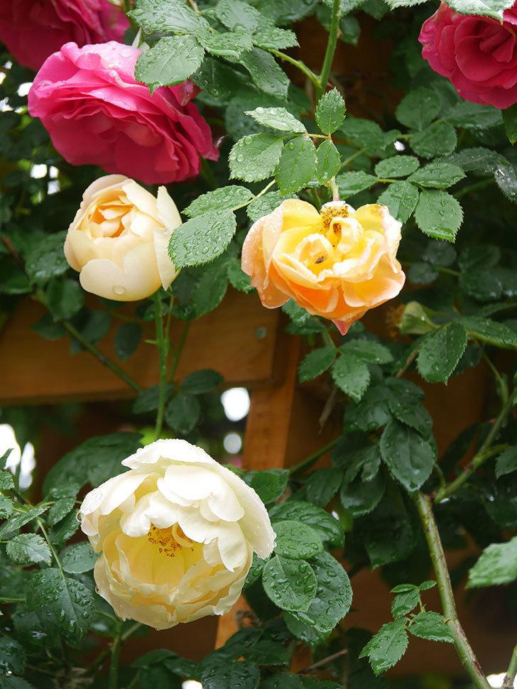 コントゥ・ドゥ・シャンパーニュ(Comtes de Champagne)の花が増えてきた。半ツルバラ。2021年-015.jpg