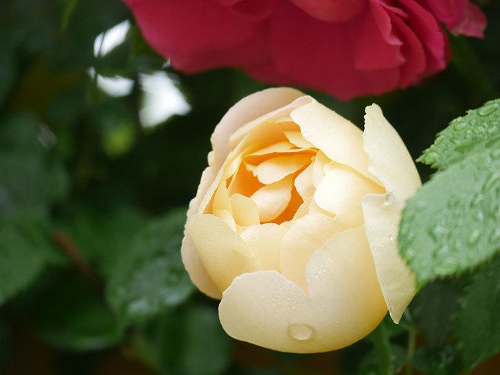 コントゥ・ドゥ・シャンパーニュ(Comtes de Champagne)の花が増えてきた。半ツルバラ。2021年-016.jpg